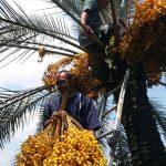 Kampung Kurma Investasi Tanaman Kurma di Indonesia yang Menguntungkan