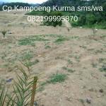 Rahasia Berpenghasilan Ratusan Juta dari Berkebun Kurma di Indonesia